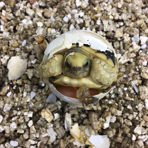 周醫師合法飼養的緬甸星龜,從研究到繁殖成功不到3年, 復育史上再添佳話。
