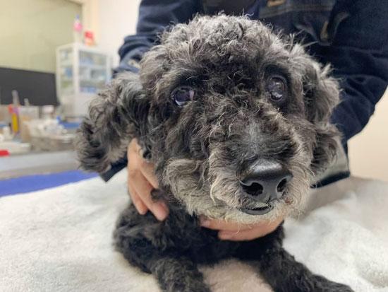 高齡犬右邊鼻腔內長腫瘤,不時會流鼻血與打噴嚏。