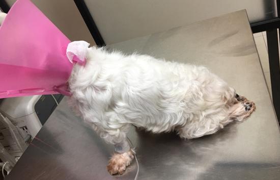 狗狗剛來德民動物醫院就診,無法行走且後腳不能站立。