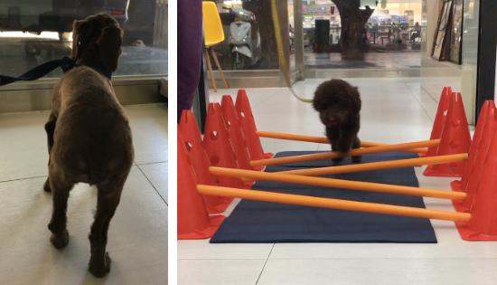 狗狗站姿重心若放在離患肢較遠的位置,例如正常的右腳時,可再安排「跨欄運動」復健課程,增加患肢的肌肉強度。