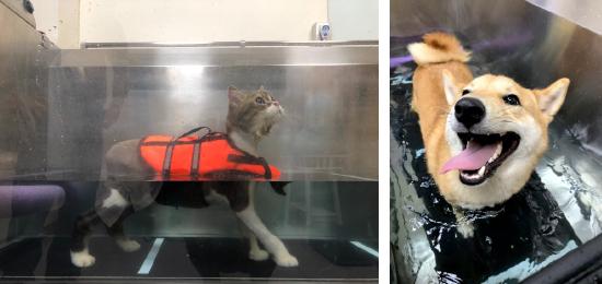 犬貓復健設備「水中跑步機」,可說是寵物的最愛呢!
