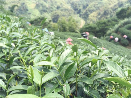 擺脫香精、香料的枷鎖,金柴茗品手作茶走出「台灣茶,新風格」。