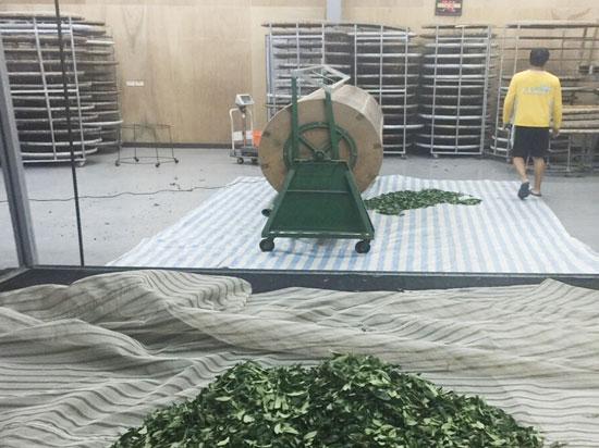 台灣茶葉製茶工序~『大浪』:使用浪菁機進行大浪的作業,破壞葉脈和葉緣細胞,讓水份不再流失。