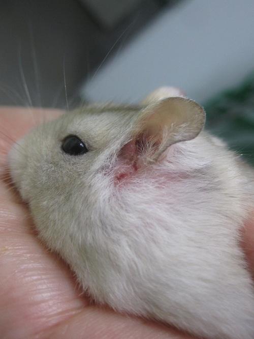许多人喜欢养小仓鼠当作宠物,看著它天真无辜的眼神,心情随之放松