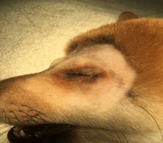 小小柴犬經台南啄木鳥動物醫院診治後,終於找到原因:先天眼瞼開孔太小引起的眼瞼內翻!