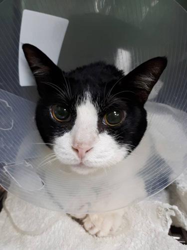 貓咪巨結腸症大多可透過飲食、藥物控制病情。