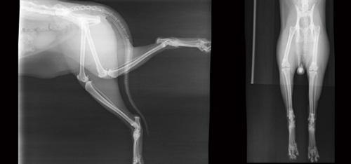 X光影像顯示,貓咪雙腳都有踝關節炎症狀。