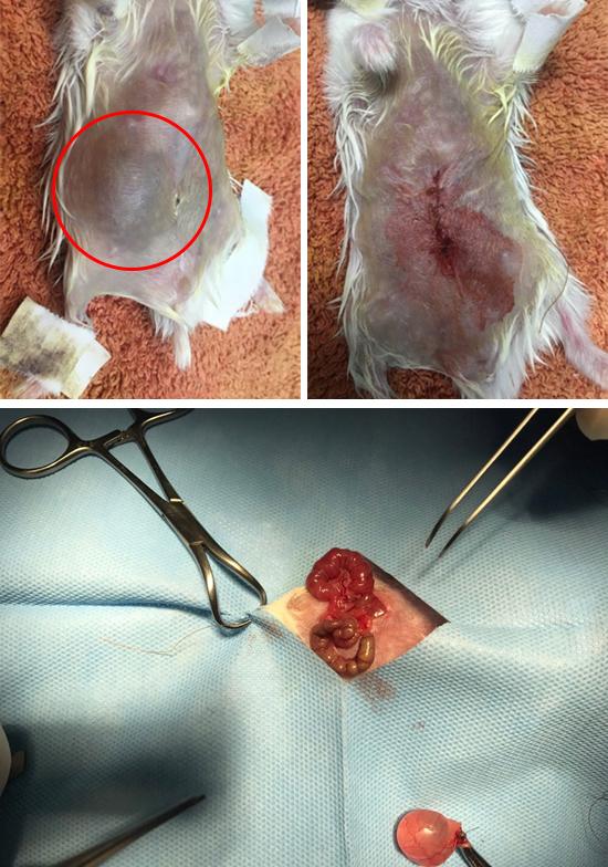母鼠肚子明顯變大,早期檢查發現是卵巢囊腫,切除後的復原狀況良好。