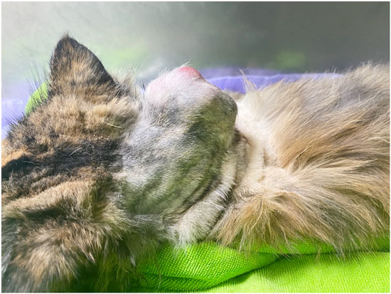 貓咪頸背部的肉瘤,很可能是注射疫苗引起的VAS腫瘤。